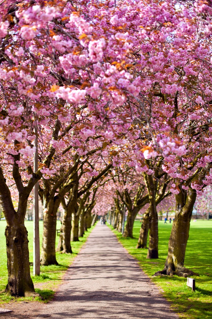 Walk path surrounded with blossoming plum trees at Meadows park, cherry blossom trees Edinburgh