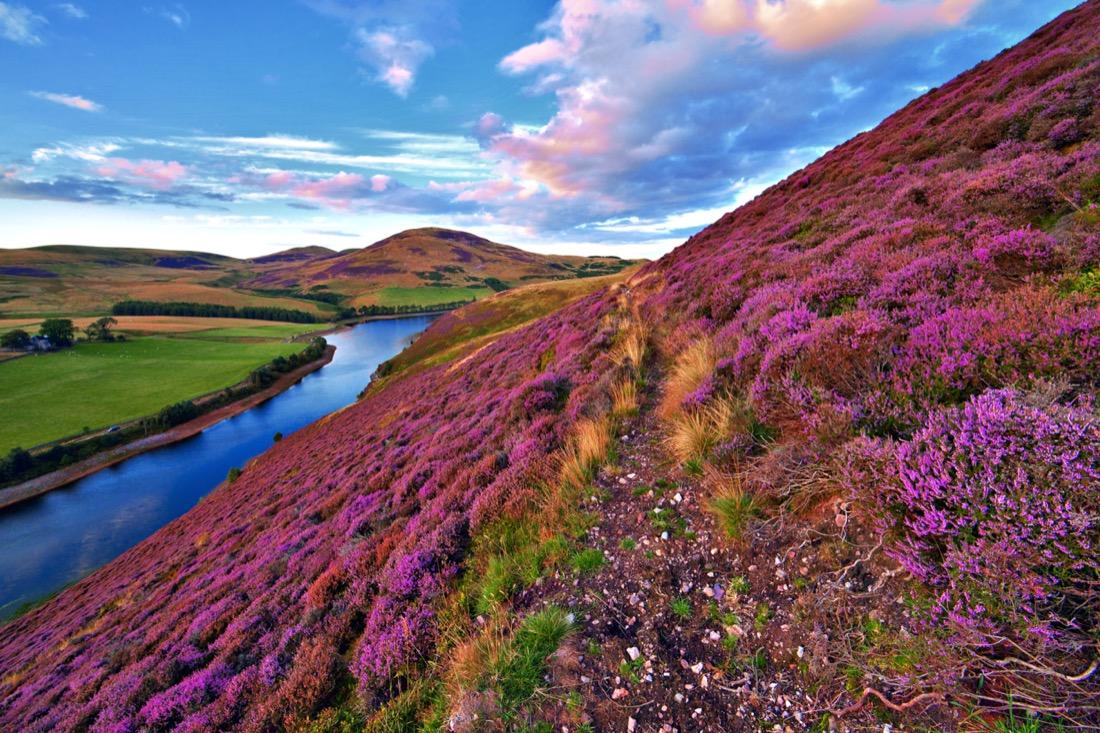 Pentland Hills Edinburgh Purple Heather