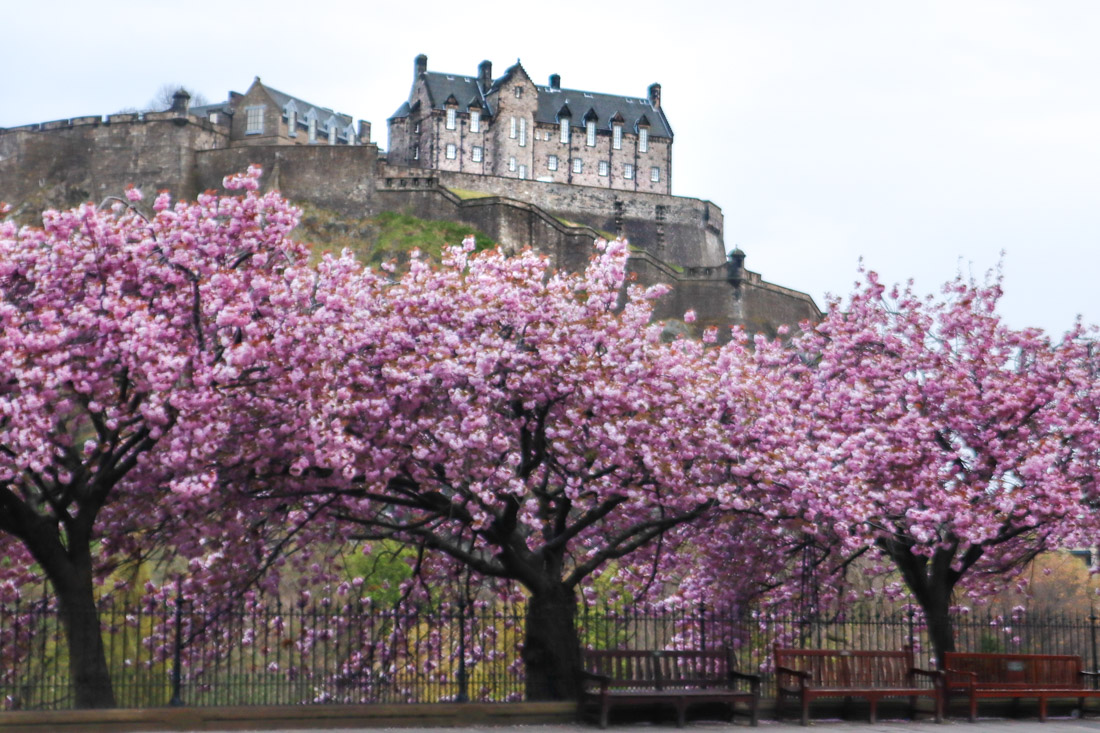 Edinburgh Castle on cliff with rows of cherry blossoms trees and benches underneath