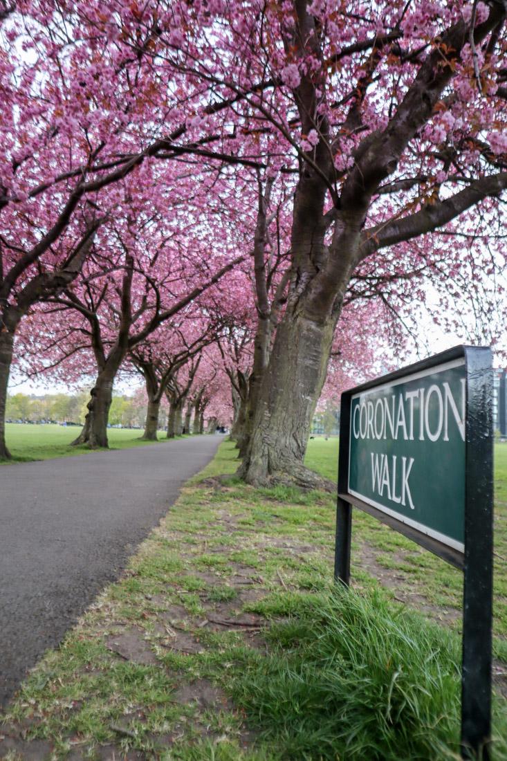 Cherry blossom tunnel on Coronation Walk Meadows Park Edinburgh