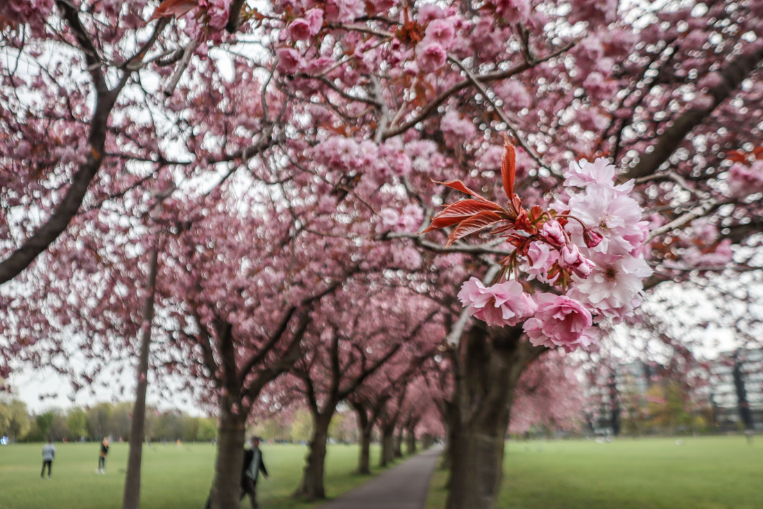 Meadows Park Cherry Blossom Tunnel in Edinburgh-2