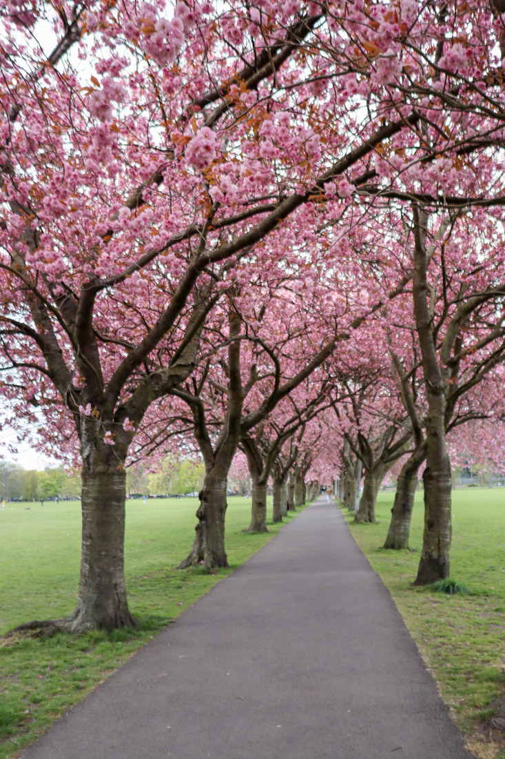 Cherry blossom arch and concrete path at The Meadows in Edinburgh
