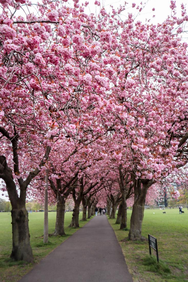 Cherry blossoms in bloom The Meadows Edinburgh