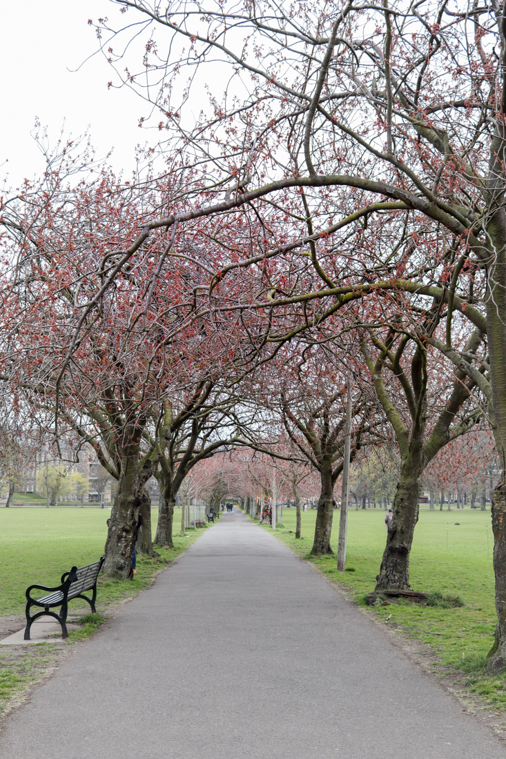 Cherry blossoms in very early stages of bloom The Meadows Edinburgh