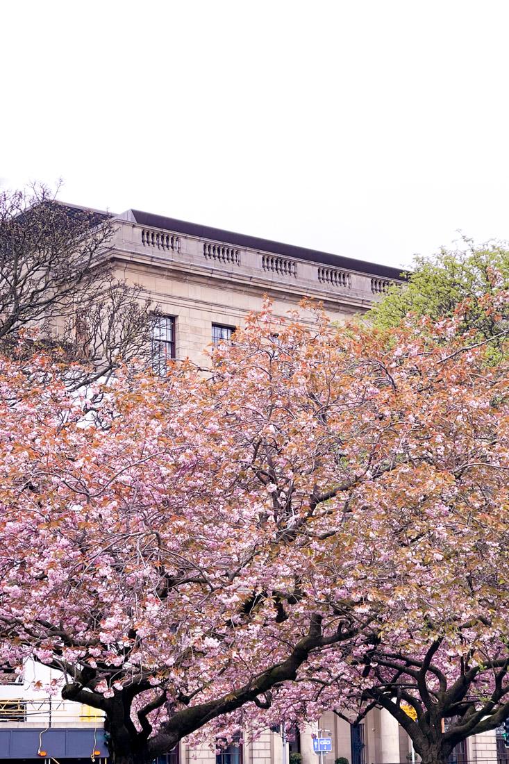 St Andrew Square Buildings Cherry Blossom Garden