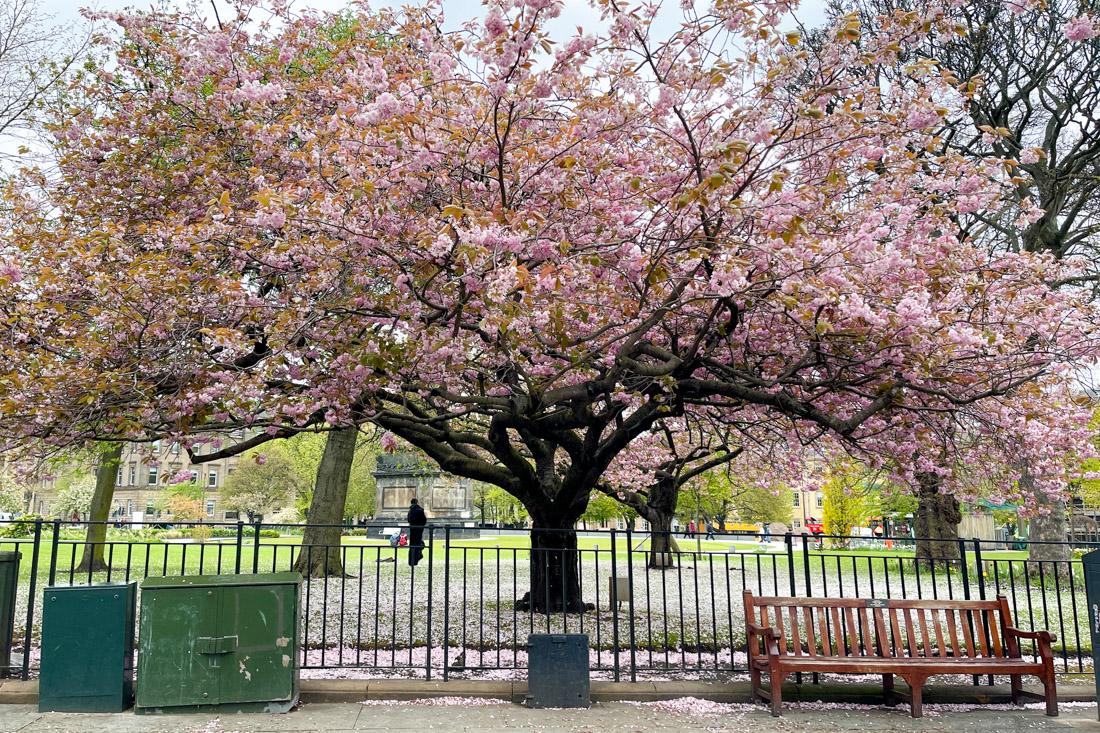 St Andrews Square Cherry Blossom Tree Garden