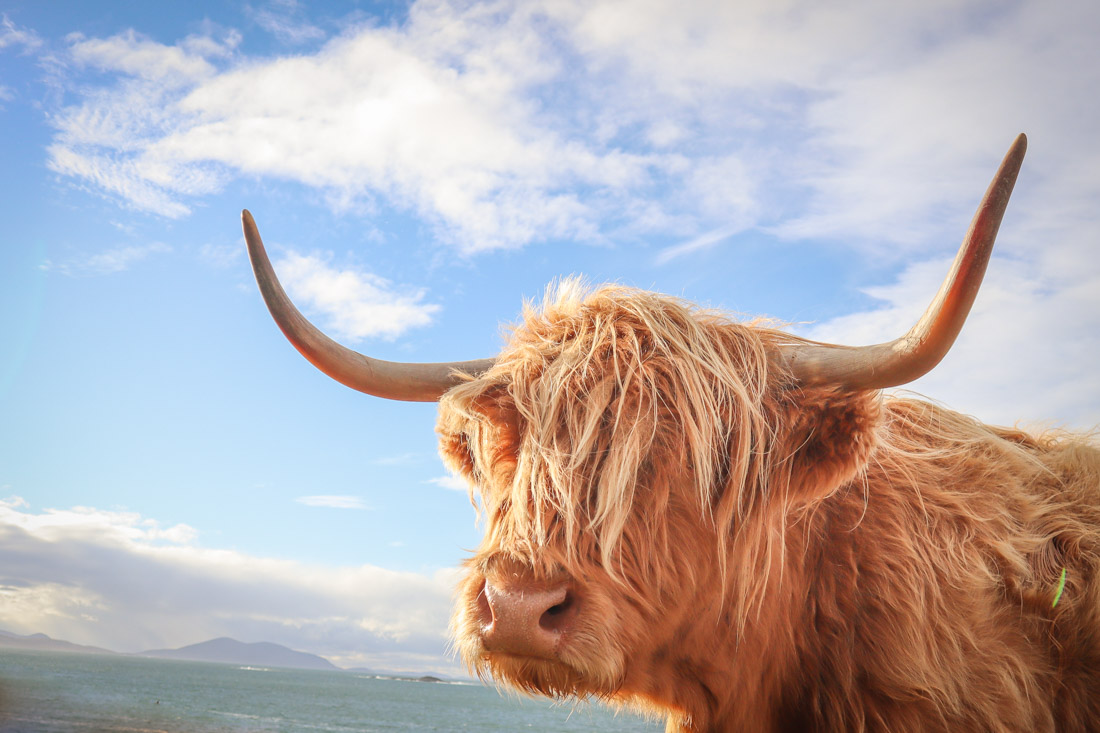 Highland Cow Close Up with Blue Skies