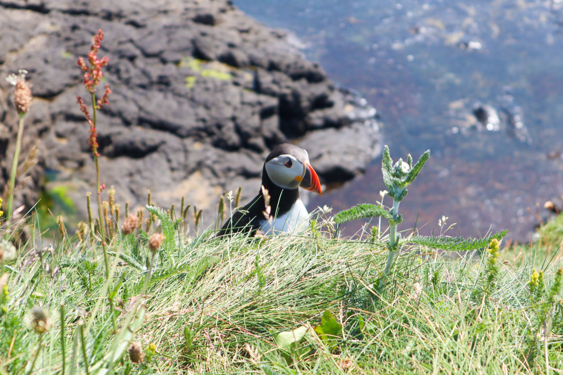 Puffin standing on Staff Island surrounded by grass and water